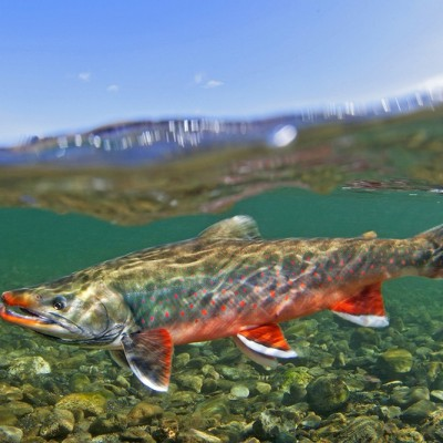 Dolly_Varden_Trout_Alaska