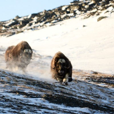 muskoxen-on-the-run