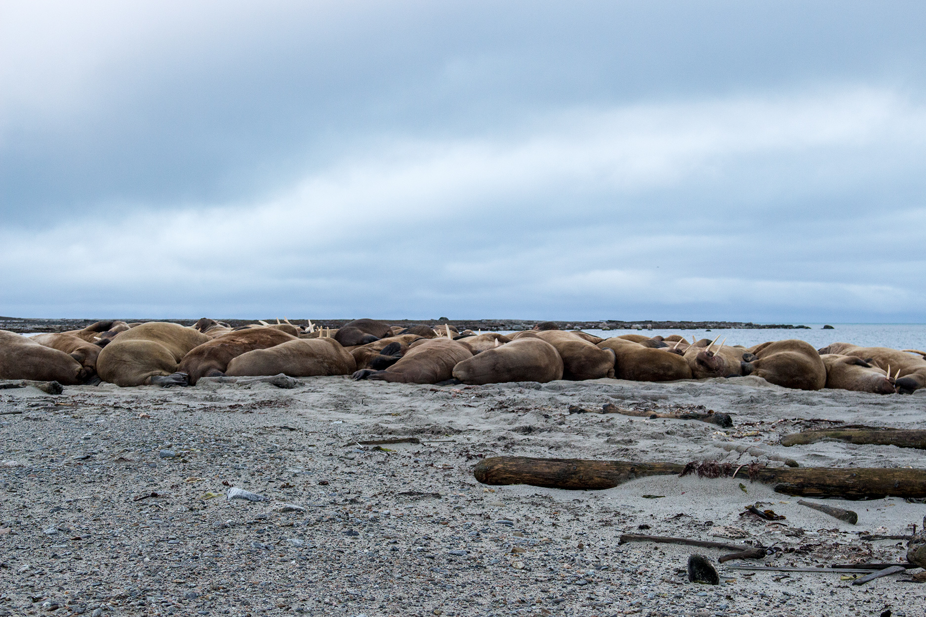 Walruses basking on the shore in smeerenburg, Svalbard
